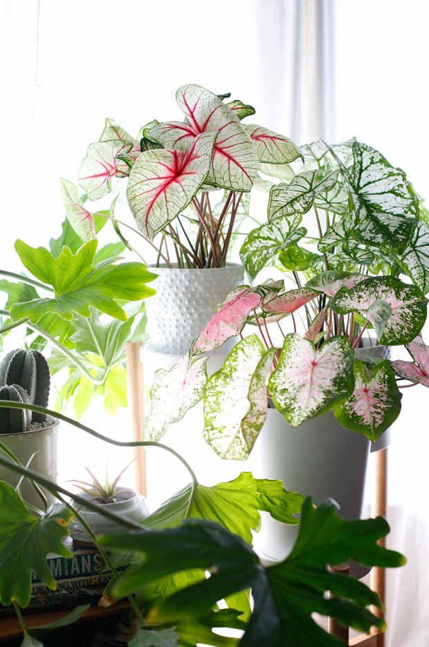 caladia patterned plant trend 2018